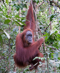 Orang Utan, Gunung Leuser Nationalpark, Sumatra, Indonesia
