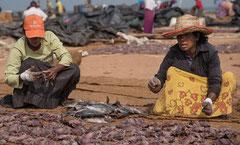 Negombo, Fischersfrau am Strand, Fisch trocknen