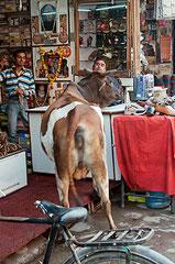Indien, India, Agra, Kuh im Schuhgeschäft
