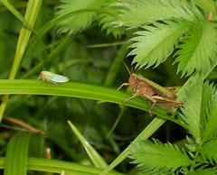 Zikade und Heuschrecke, friedlich zusammen <br>Foto: Lothar Kalok