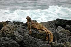 Leguan-Mumie / Iguana Mummy, Galapagos