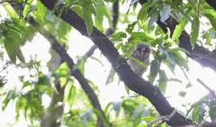 フクロウ 雛(巣立ち2番)