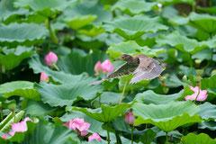 ゴイサギ幼鳥(ホシゴイ)