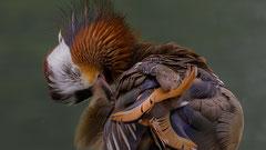 Mandarin Erpel auf der inneren Aare Kleistinsel Thun 21. Juni 2020 noch halbwegs im Prachtkelid