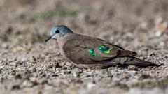 Bronzeflecktaube / Emerald-spotted Wood Dove im Sonnenlicht; Namibia July 2017
