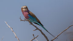 Gabelracke / Lilac-breasted Roller, Namibia 2017