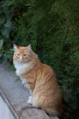 """""""Miel"""" chat angora d'origine norvégienne"""