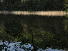 """""""Schilf im Morgenlicht"""" Dibond Fineart 60x40 cm  149,-€"""