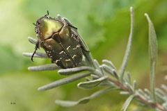 Käfer auf dem Lavendel - Juli 2013