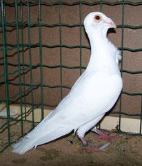 Mâle blanc à Y pereira