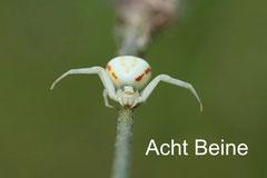 Acht Beine, Spinnen