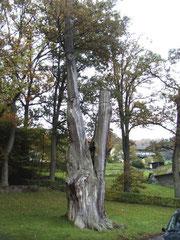 1000jährige Eiche