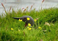 Sterntaucher (Gavia stellata), Shetland GB