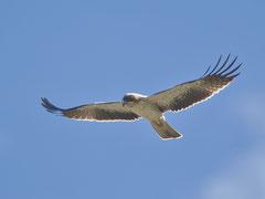 Zwergadler (Aquila penata), Insel Cabrera, Mallorca E