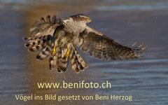 Der Habicht - das benifoto-Markenzeichen