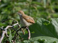 Dorngrasmücke, juvenil, (Sylvia communis), Edinburgh GB