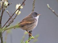 Dorngrasmücke (Sylvia communis), Biebrza, Polen