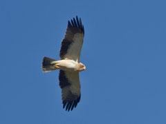 Zwergadler (Aquila penata), Nähe Trujillo, Extremadura E