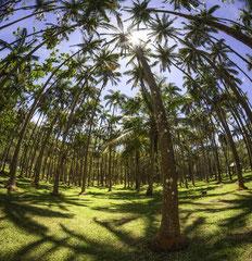 Forêt de palmiers - Anse des Cascades