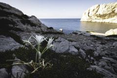 Lis maritime - Pancratium maritimum - Cap Croisette