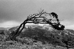 Crooked tree (Sa Rateta, Mallorca, Spain. 2019)