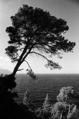 Pine at Cala s'Estaca (Mallorca, Spain. 2019)