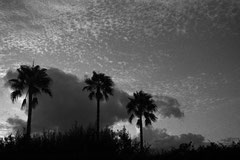 Three palm trees outside Portocristo (Mallorca, Spain. 2019)