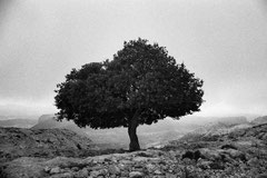 Sa Rateta tree (Serra de Tramuntana, Mallorca, Spain. 2019)