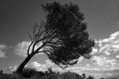 Pine at Torrent de Penya Roya (Serra de Llevant, Mallorca, Spain. 2019)