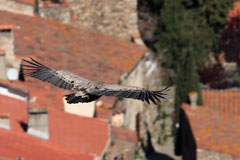 Frank : Un rapace au dessus des toits de Castelnou - Vue du Roc de Majorque