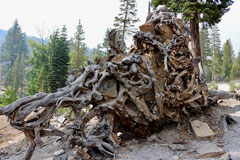 Jean-Louis : Roches emprisonnées dans un squelette de racines  (Mono lake, Californie)
