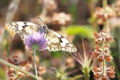 Bernard : Papillon Mauguio 1