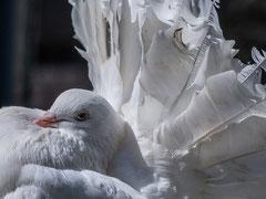 Bernard : Pigeon paon Arles-sur-Tech