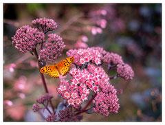 Daniel : Papillon