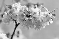 Monique : Fleur de cerisier