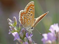Bernard : Papillon Mauguio 2