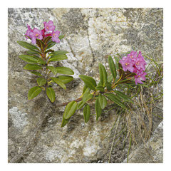 Jacqueline : Rhododendron