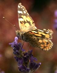 Philippe : Papillon