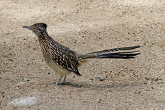Wegekuckuck (Geococcyx californianus)