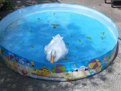 2012/07/26(木) 子供用のプールで泳ぐのが日課です