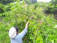 2012/05/27(日)  マルベリー、グミ、野イチゴなど採り放題です
