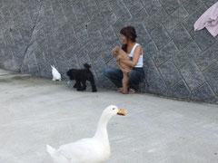 2013/06/15(土) 日課の散歩にウサギも加わりました。