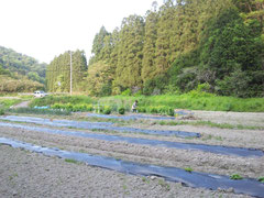 2013/05/06(月) 夕飯のパスタ用に、菜園で菜の花を採りました。