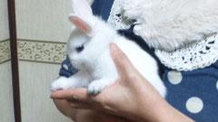 2012/12/04(火)  白いミニウサギが我が家の一員に加わりました。