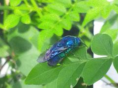 2014/9/9 庭のジャスミンの葉の上で青い蜂を発見!大青蜂(オオセイボウ)という珍しい蜂です