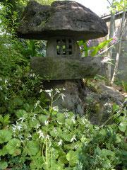 ユキノシタ 石灯籠