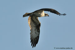 Osprey; Haulover Canal Bridge; Merrit Island, Florida