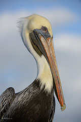 Mr. Brown Pelican