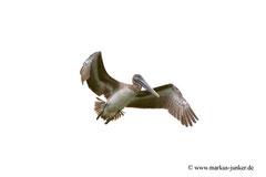 Brown Pelican; Haulover Canal Bridge; Merrit Island, Florida