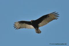 Turkey Vulture; Haulover Canal Bridge; Merrit Island, Florida